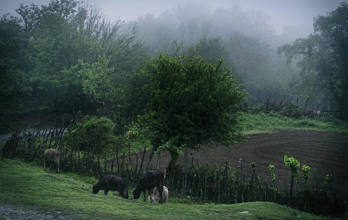 Туман и коровы